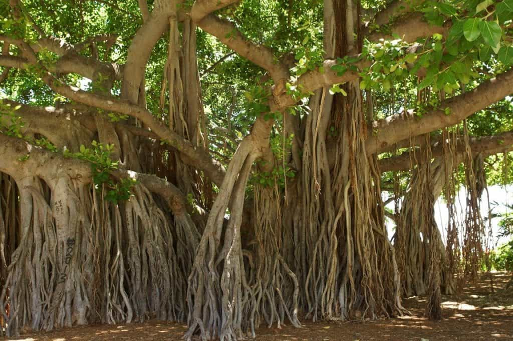 example of a banyan tree