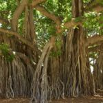 example of a banyan tree